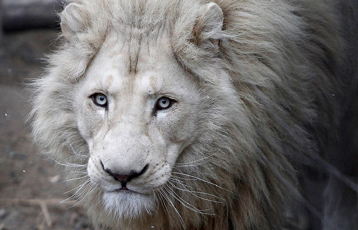 Сотрудники тбилисского зоопарка: Нашего Шумбы больше нет