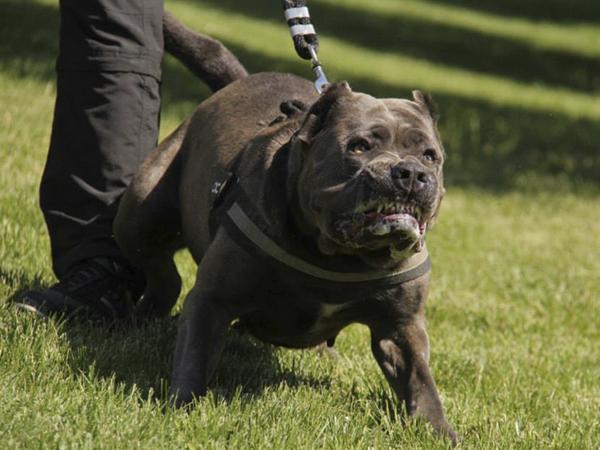 Бойцовская собака откусила язык мужчине в центре Москвы