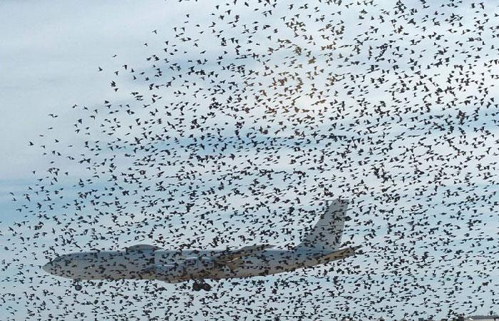 Тучи птиц на аэродроме.