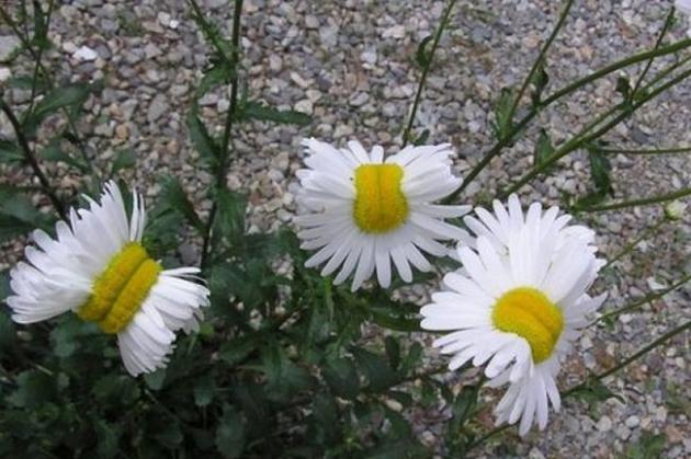 Ромашки из Фукусимы. Фото: fukushima-diary.com