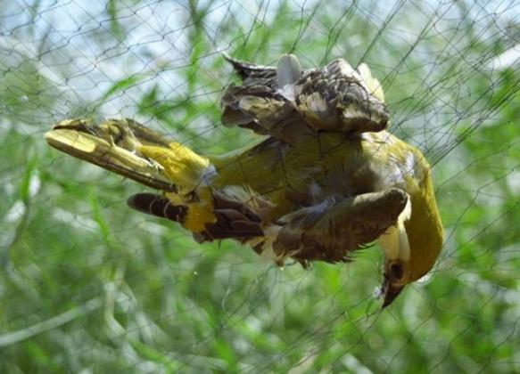 Птичка в ловушке