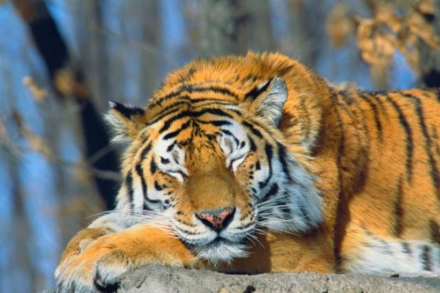 Малайский тигр находится под угрозой исчезновения