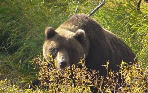 На Камчатке ради безопасности туристов убили медведицу