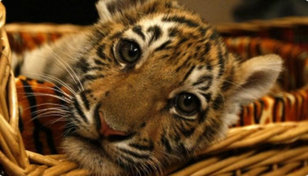 Амурский тигрёнок.