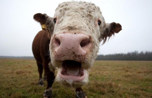За два года производство говядины в Эстонии выросло на 16%