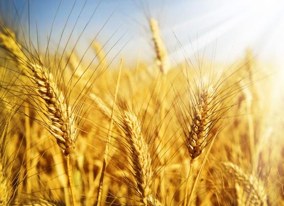 Ткачёв: Урожай зерна в 2015 году может достичь 102 млн тонн