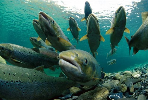 """""""Ситуация с диким лососем требует тщательного расследования и принятия комплекса мер по защите уникального поголовья"""", - Марина Ковтун"""