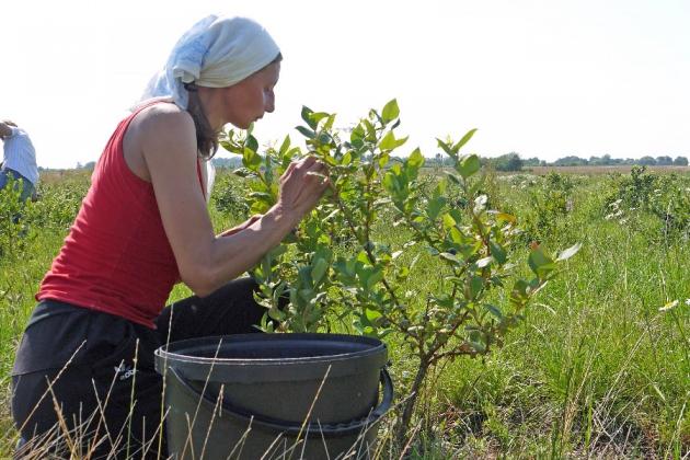 Под Калининградом созрел урожай на первой промышленной плантации голубики