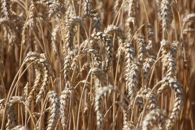 Белгородские аграрии собрали 72% урожая