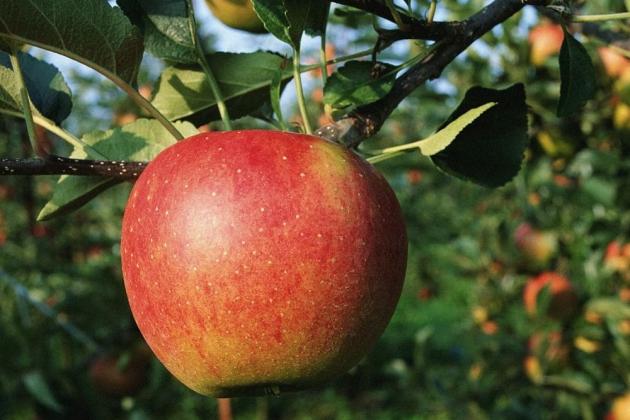 Медведеву показали перспективный метод выращивания фруктов