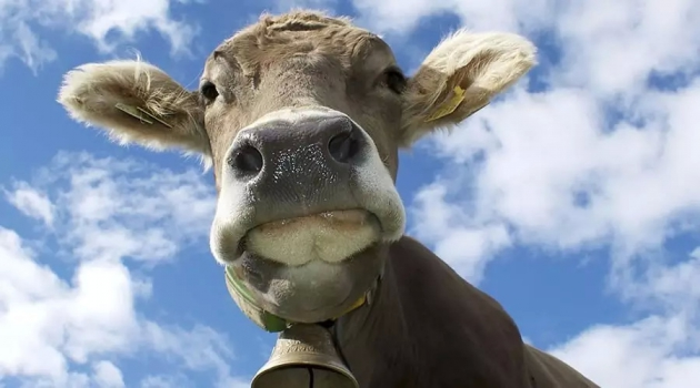 Лимитировать поголовье скота в Кабардино-Балкарии неразумно