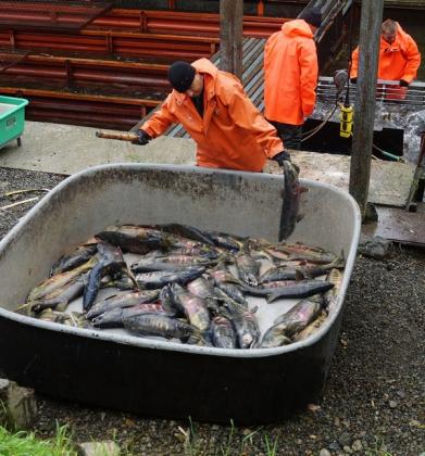 Рыбоводные заводы Камчатки обеспечены производителями благодаря рыбоохране
