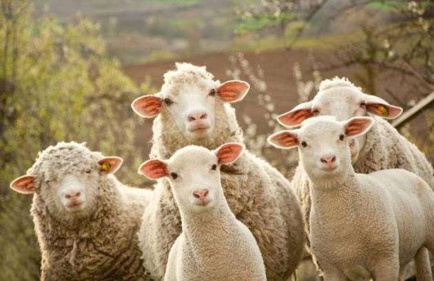 В Дагестане нельзя ограничивать количество скота в личных хозяйствах