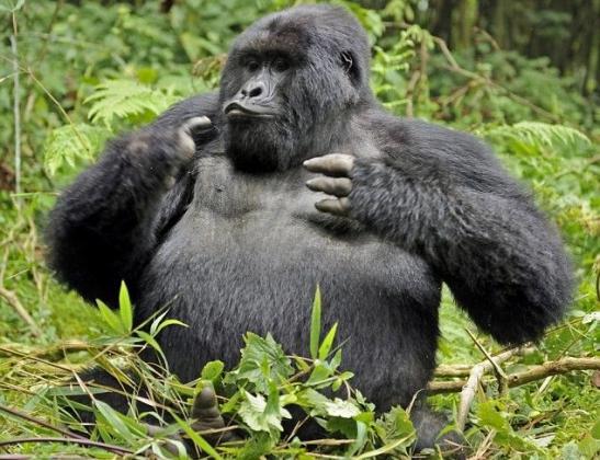Gorilla beringei.