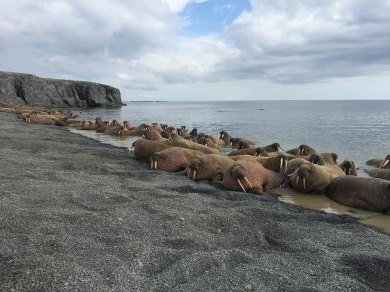 Спутниковые метки поставили моржам Баренцева моря