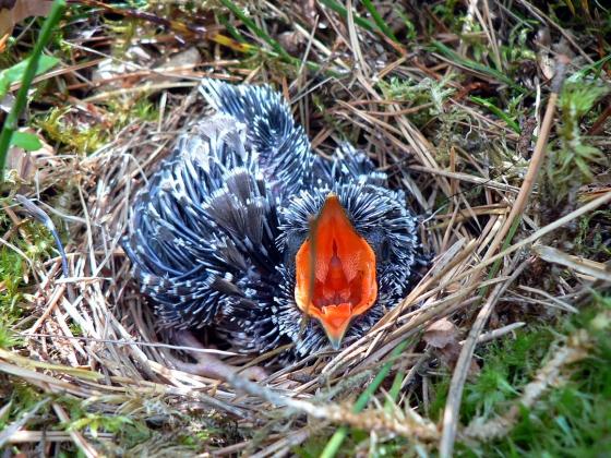Птенец кукушки в чужом гнезде.