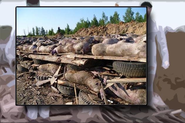 Африканская чума свиней.