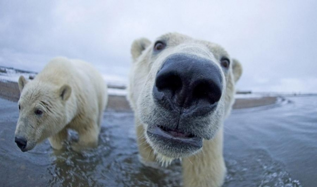 Ученые заполнят «белые пятна» в экологии карской популяции белого медведя