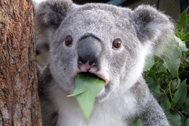 Коала напала на квадроцикл в Австралии