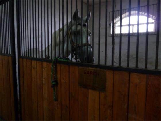 Лошадь орловской рысистой породы на Алтае, фото Алтайского конного завода