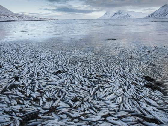 Во Владимирской области уничтожили исландскую селедку и сыр из Евросоюза