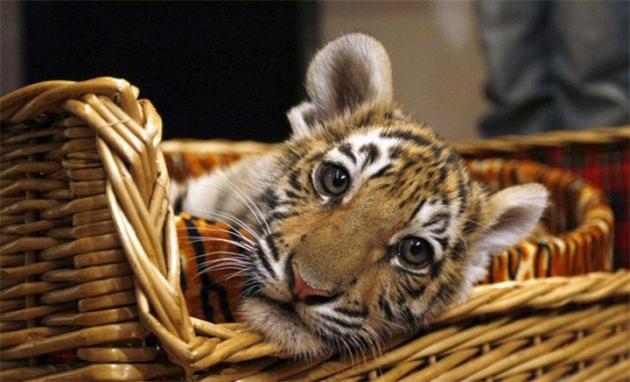 Ранивший амурского тигренка браконьер признался в содеянном