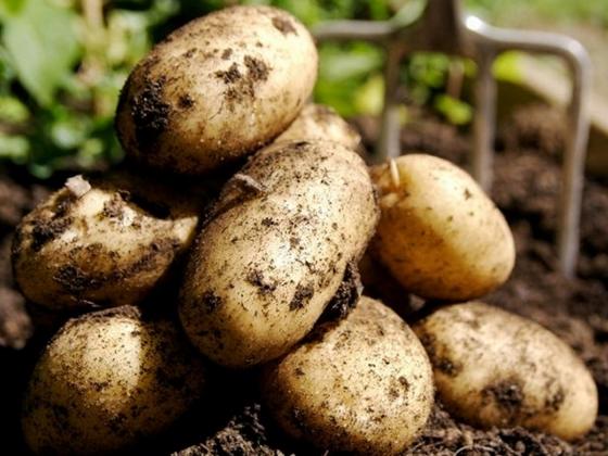 В Латвии подорожает картофель