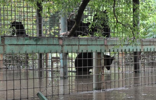 Медведей вывозят из затопленного зоопарка в Уссурийске.