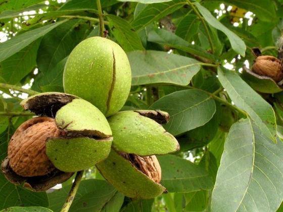 В Ингушетии впервые заложены ореховые сады