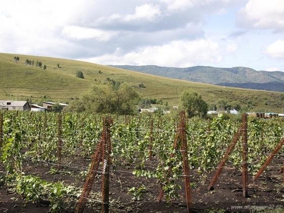 Промышленного производства французского вина на Алтае пока не вышло