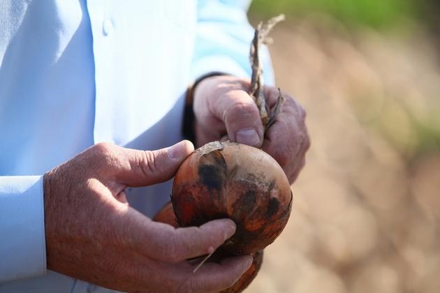 В Приморье борются за каждый килограмм спасенного урожая