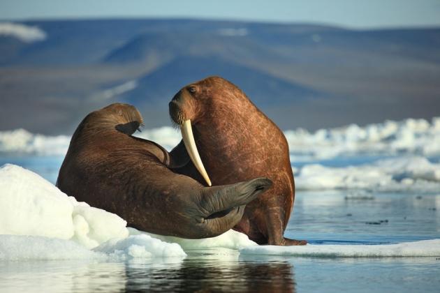 Дальневосточные ученые истребляют краснокнижных животных