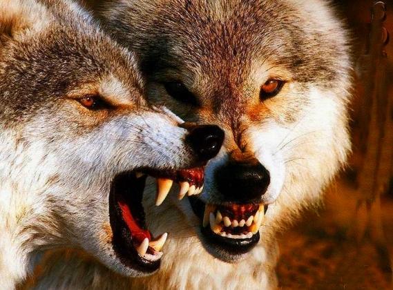 Голодные волки.