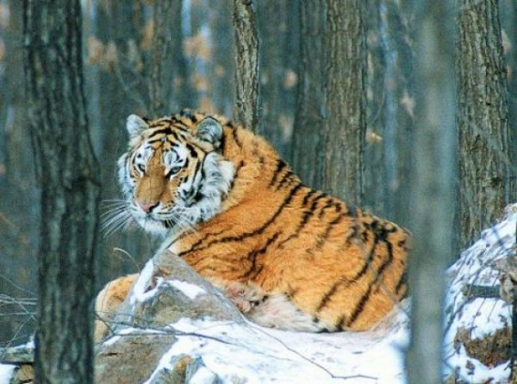 Тигров контролируют в Приморье.