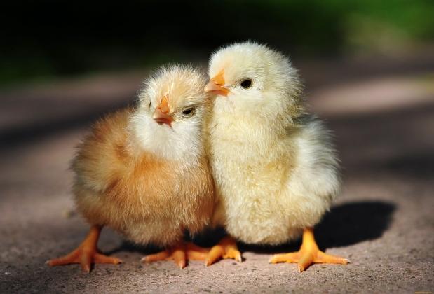 Покровитель кур: Алтай вышел в тройку лидеров по птицеводству