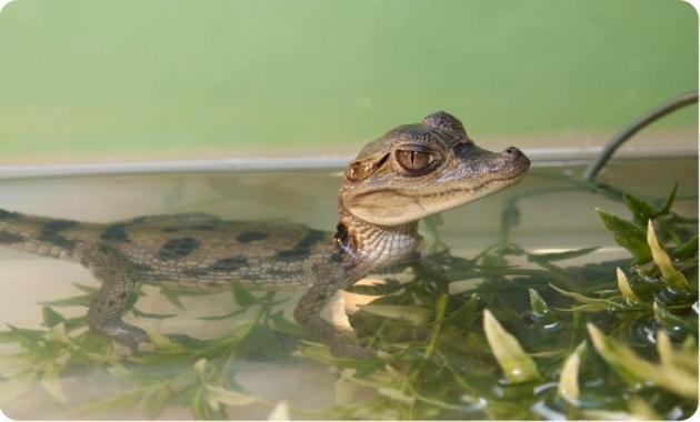 Крокодильчик в аквариуме.