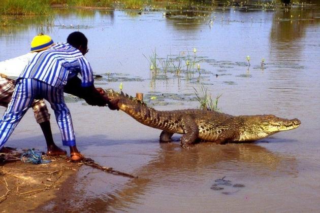 Охотники держат крокодила за хвост.