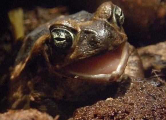 Ядовитая жаба-ага