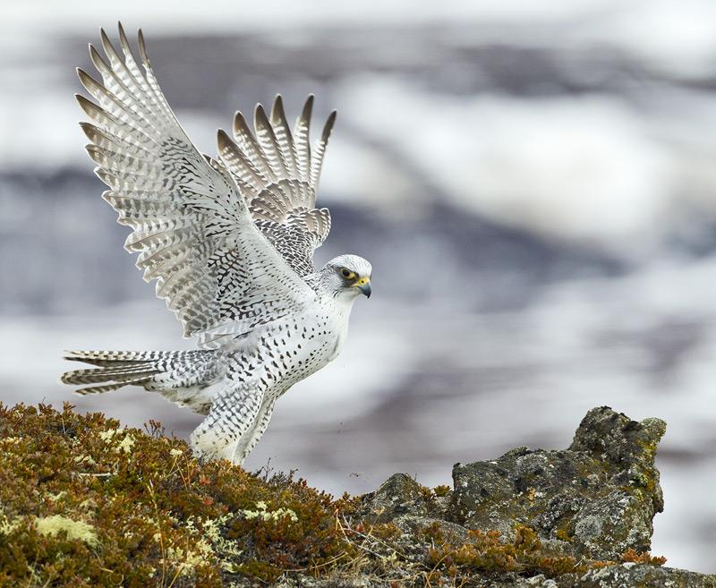 кречет фото птицы и описание для