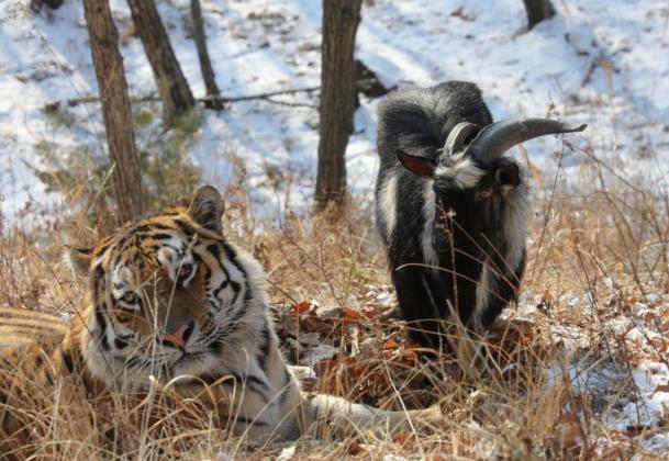 Реалити-шоу о козле Тимуре и тигре Амуре возобновлено