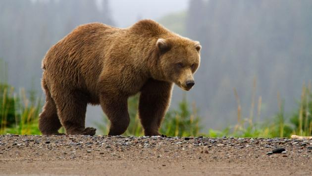 Испания: у русского медведя походка стала шаткой