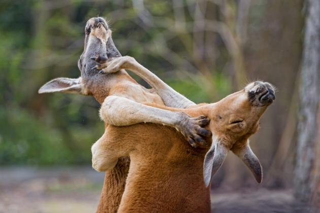Схватка кенгуру