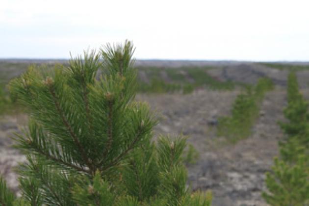 Так продолжается алтайский лес