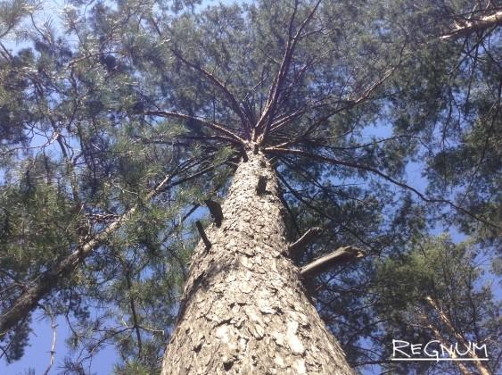 В Барнауле под видом санитарной рубки уничтожают здоровые деревья
