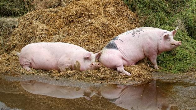 Чума свиней добралась до Камышинского района Волгоградской области