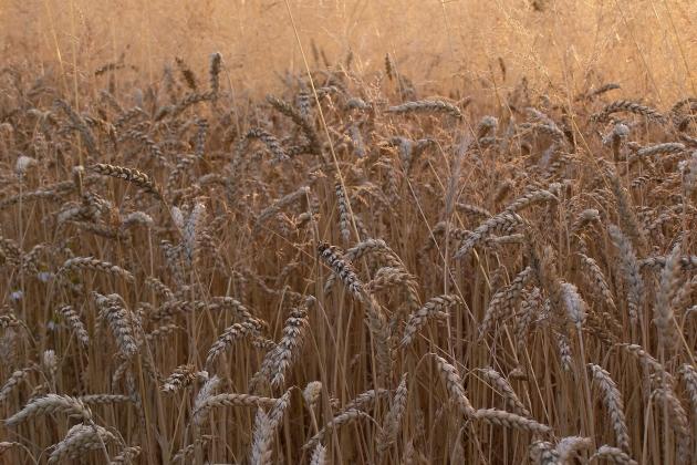 В Латвии из-за затяжных дождей не могут убрать зерно