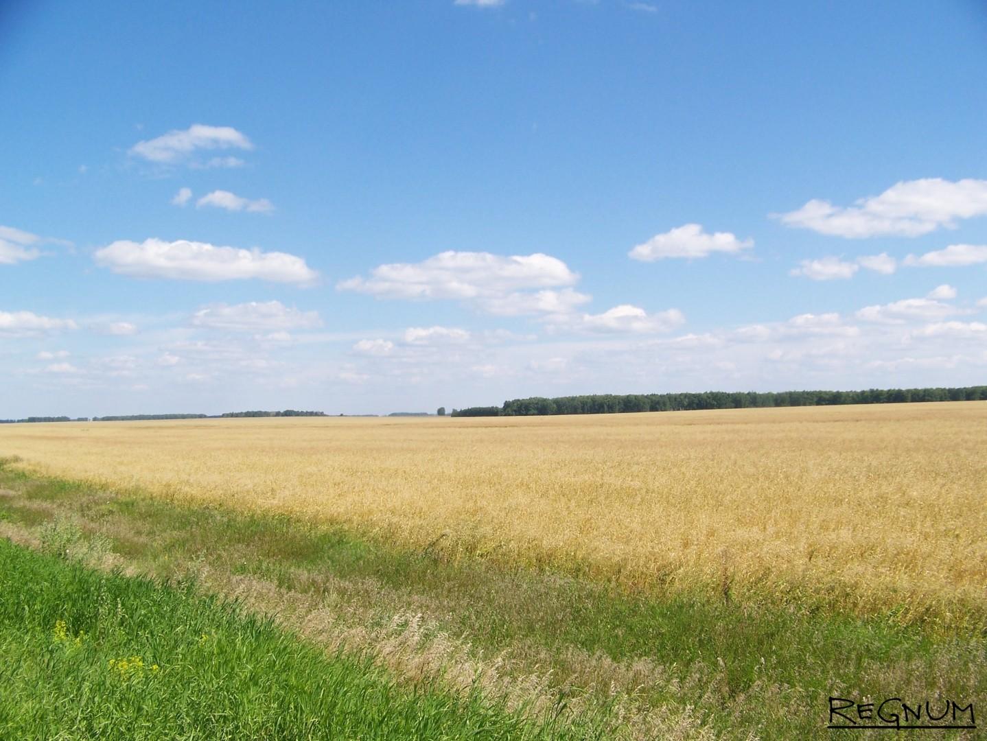Урожай зерновых в Хабарском районе Алтайского края еще не начали собирать — ждут хорошей погоды