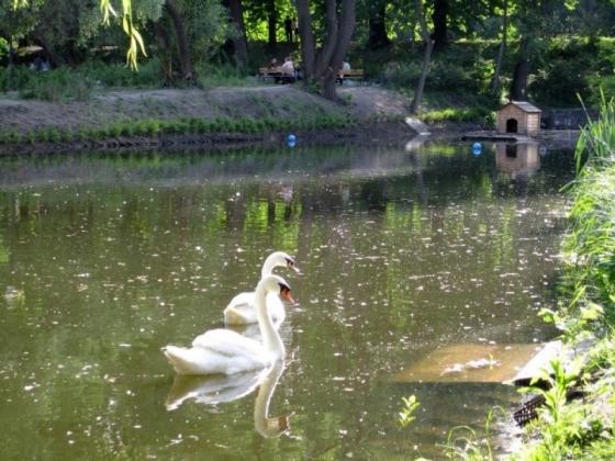 В Ярославской области лебедь приревновал свою любимую к спасателям