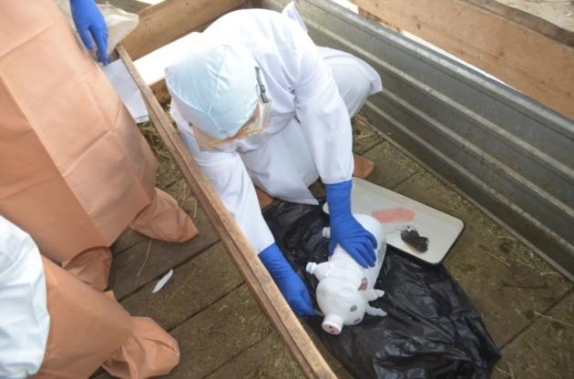 В Чувашии пытаются незаконно вывезти мясо из очага АЧС