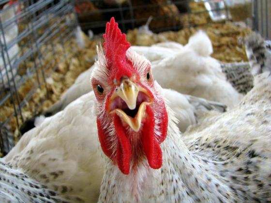 Россельхознадзор запретил поставки крупной белорусской птицефабрики